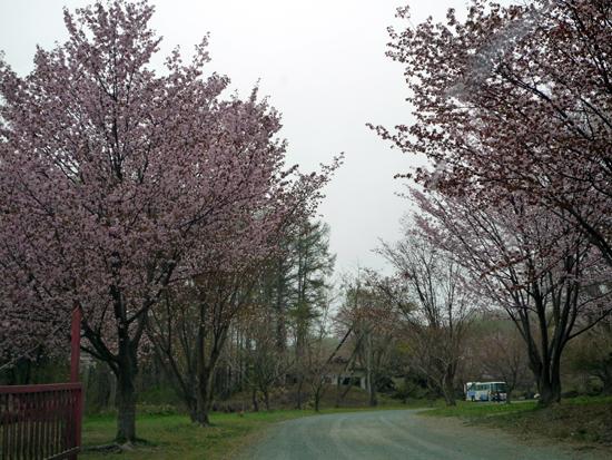 日高胆振の桜スポット