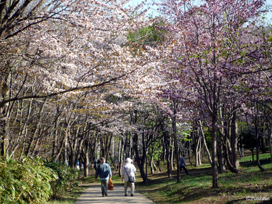 後志の桜スポット