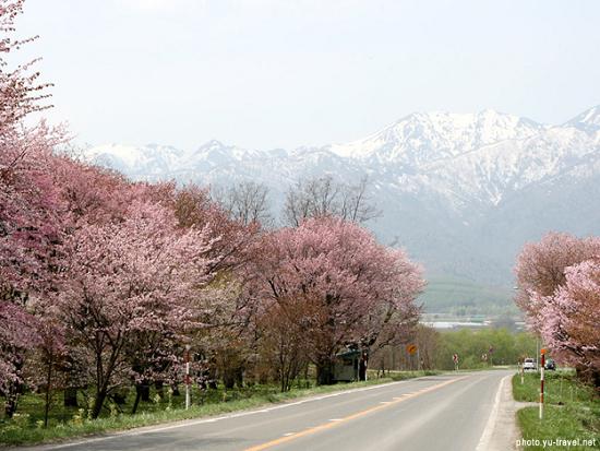 道北の桜スポット