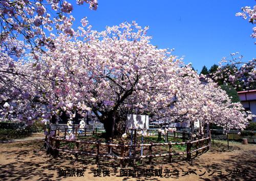 道南の桜スポット
