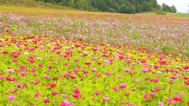 日本最大級のコスモス畑に感動! 丘一面ピンクの遠軽コスモス園
