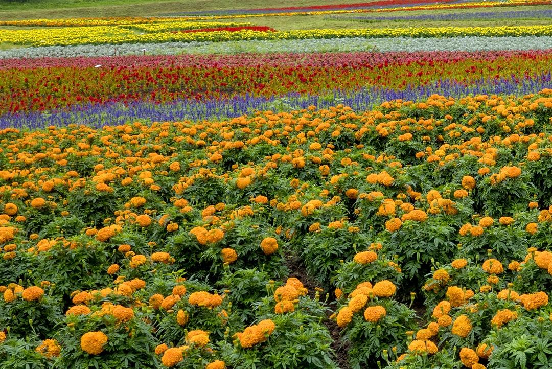 スキー場の頂上に花園が!4.2万本が咲く「はな・てんと」誕生秘話