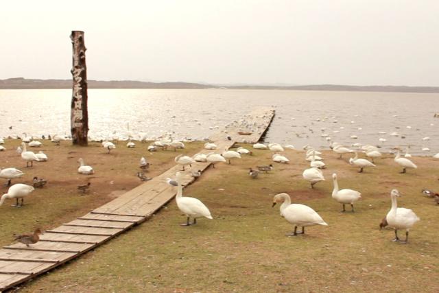 コハクチョウの国内最大の中継地「クッチャロ湖」はまさに白鳥の湖!