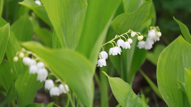 広さ日本一!可憐な花々と香りに心なごむ 平取「すずらん群生地」