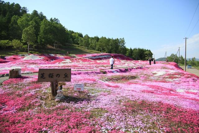 ピンクが波打つ!絵心をくすぐる景観!倶知安「三島さんの芝桜庭園」