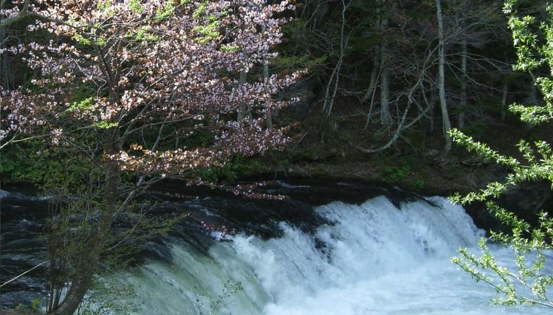 サクラマスが3.7mの高さをジャンプする!清里町「さくらの滝」