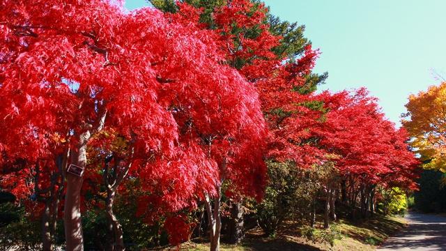 黄なら「北大銀杏並木」赤なら「平岡樹芸センター」どちらがお好き?