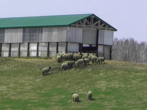 シープドッグショーと毛刈りショーが楽しい「羊と雲の丘」