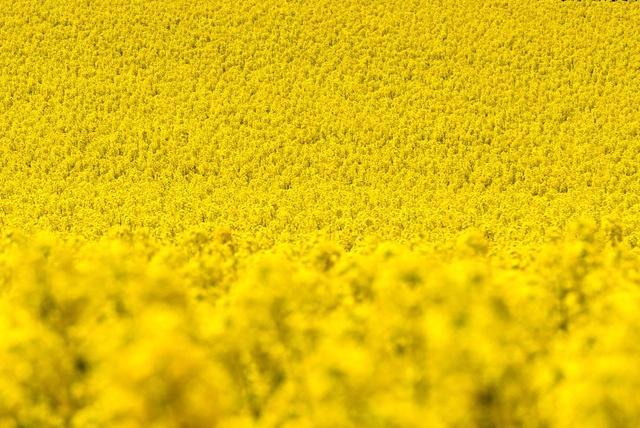 見渡す限りビタミンカラー!国内屈指の作付面積を誇る滝川市の菜の花畑