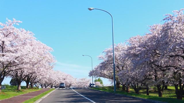 その数なんと8000本!道央随一の桜名所「戸田記念墓地公園」の迷い方