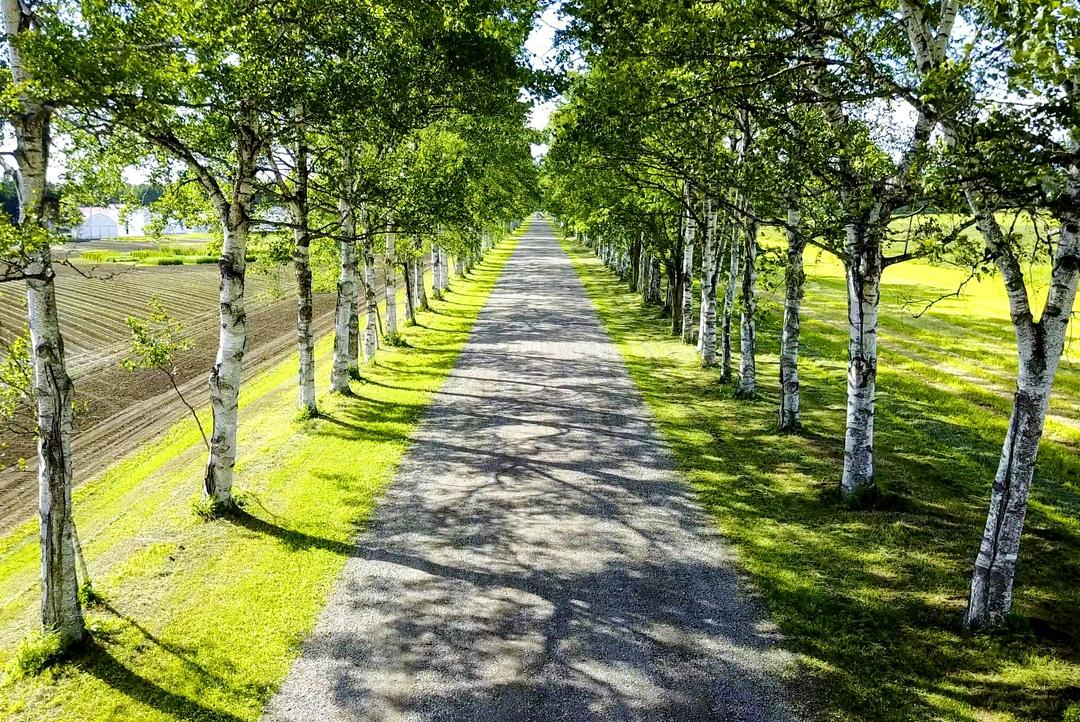 660本もの白樺が並ぶまっすぐの道!音更町「十勝牧場白樺並木」