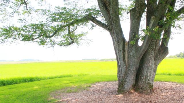 豊頃のシンボル!町指定文化財「はるにれの木」は二か所ある?