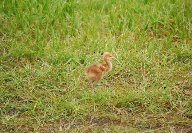 間近でタンチョウのヒナを見るならここへ―釧路市丹頂鶴自然公園