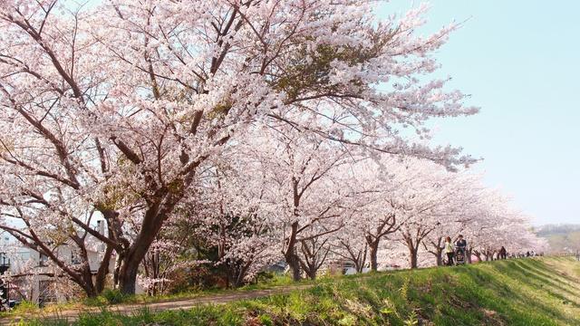 ニッカウヰスキー見学と一緒にいかが?余市川桜並木をのんびり散策