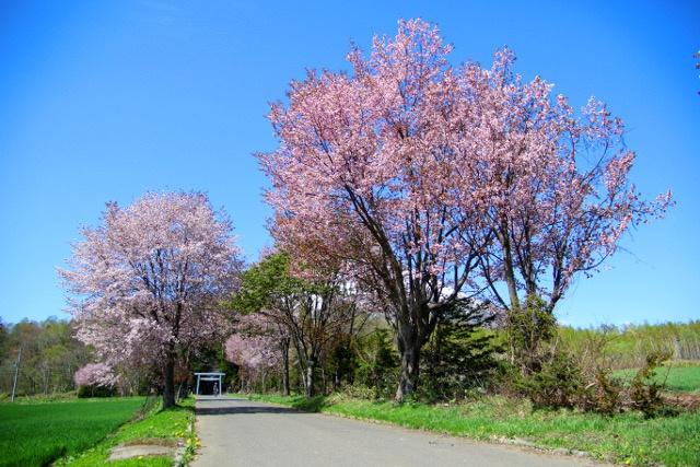 羊蹄山バックに咲き誇るから更に美しい!羊蹄山山麓の桜スポット3選