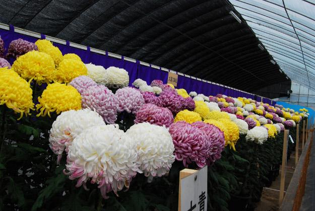 今年の菊人形展は『八重の桜』ファン必見!「第61回北見菊まつり」開催中