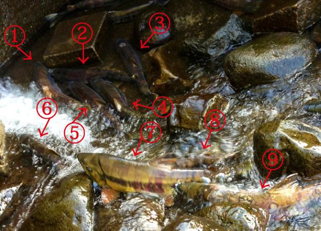 驚くほど間近で鮭の遡上を見られる場所が網走にあるのをご存知?
