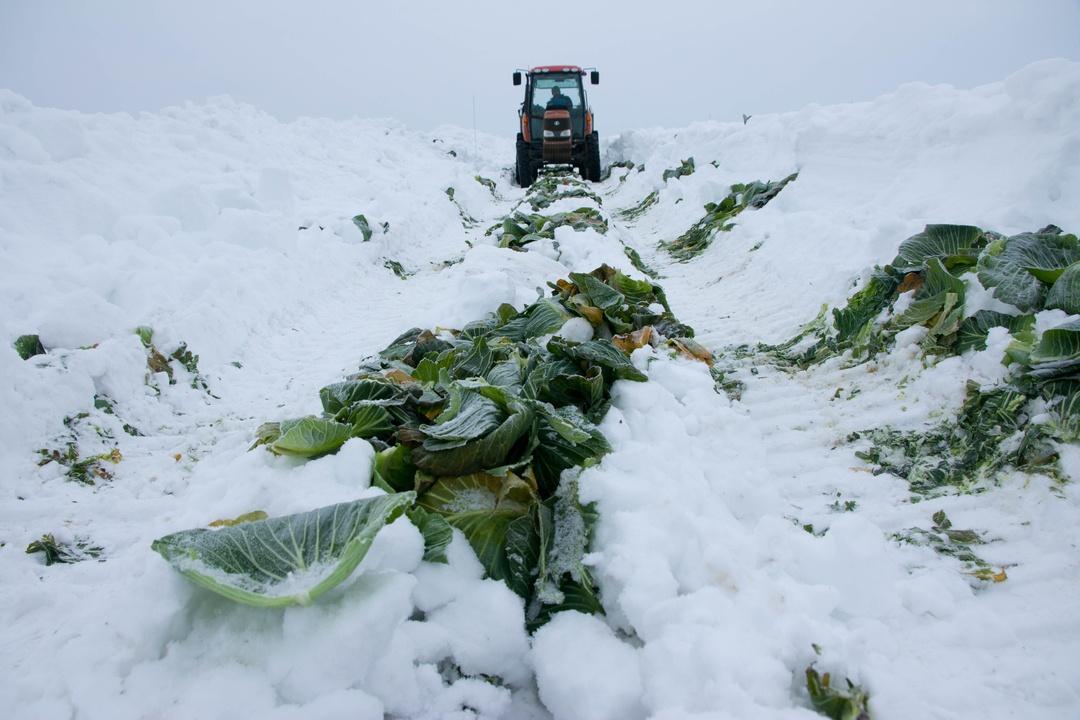 普通の冬キャベツと何が違う?和寒町「越冬キャベツ」が特別なわけ。