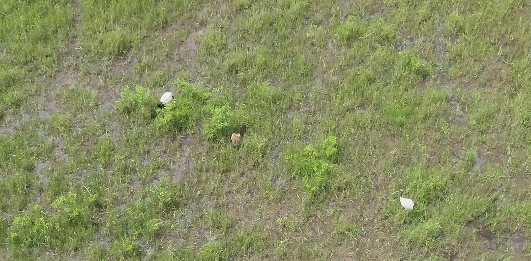 勇払原野で130年ぶりにタンチョウの繁殖を確認!道央圏で繁殖地拡大中