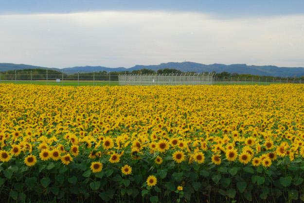 10月中旬なのにひまわりが満開!? 女満別空港横のひまわり畑で見頃