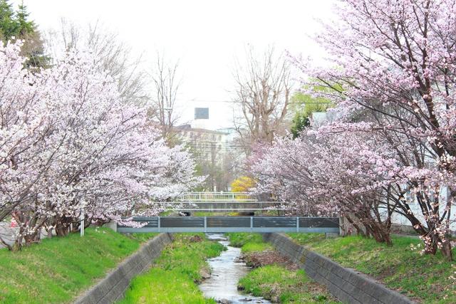 ここは穴場スポット!札幌の千島桜並木「寒地土木研究所」見頃に