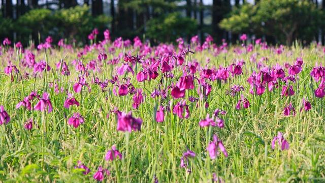 紫色の花が一面に!江別市東野幌の自生ノハナショウブ群生地