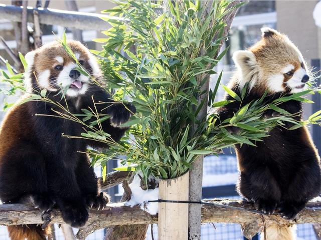 2年連続ベビー誕生なるか?円山のレッサーパンダ ギンとエイタ同居開始