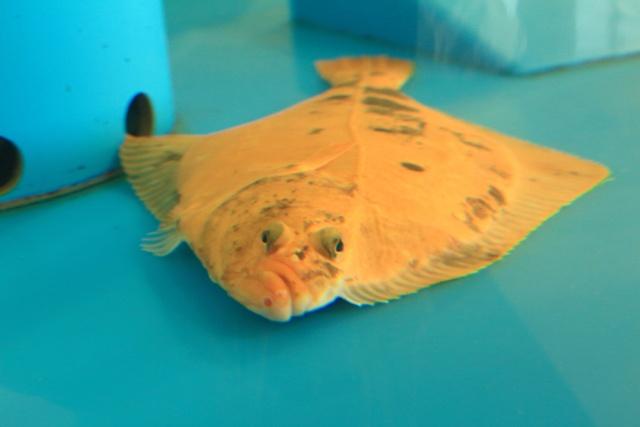 幸運を呼ぶ珍しい魚が室蘭に!? みたら室蘭で「金色のイシガレイ」展示中