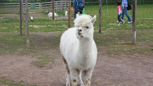 羊の毛刈りショーに人気集まる!えこりん村で「もこもこ感謝祭」開催