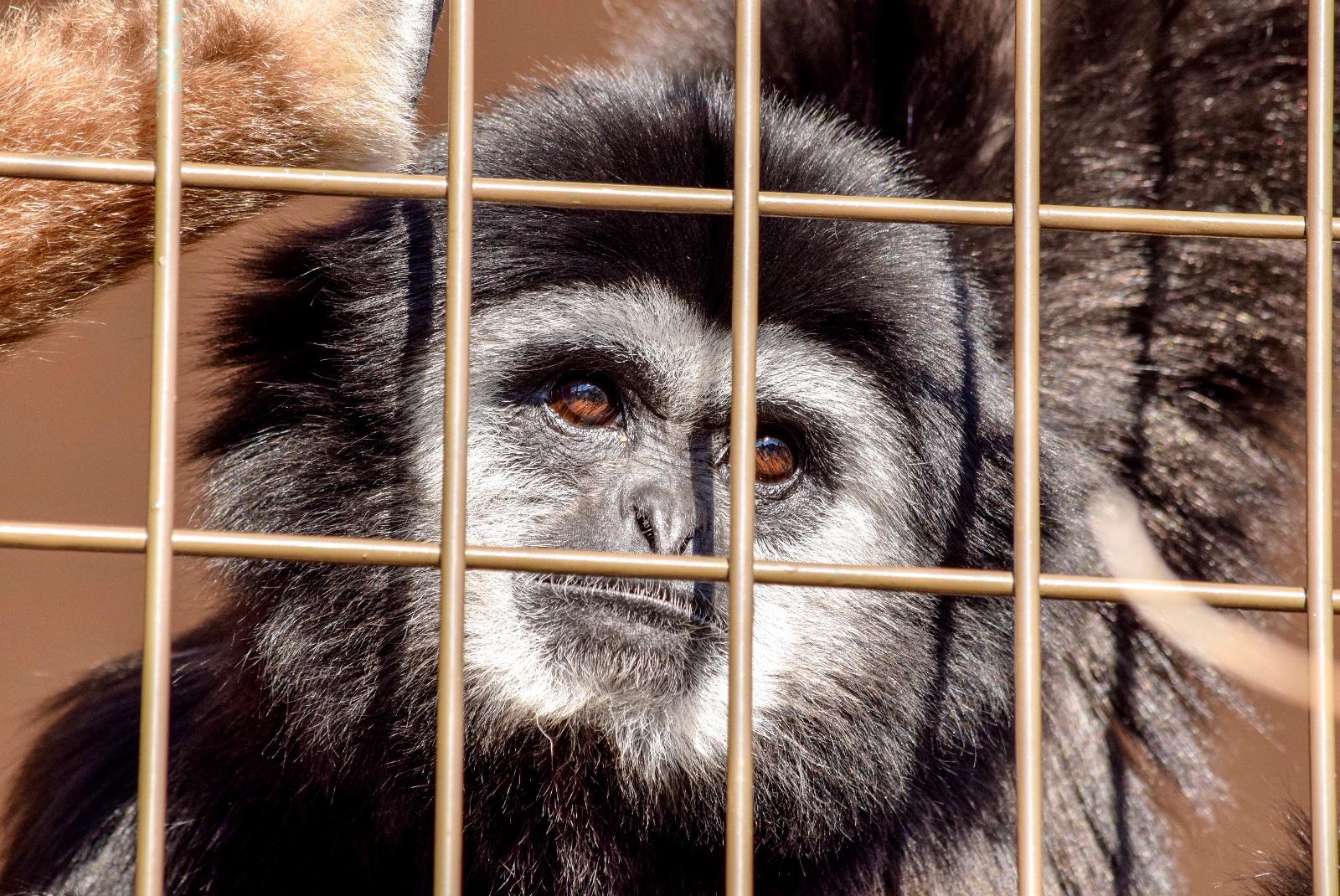 家族3頭の仲の良さに注目!円山動物園のシロテテナガザル