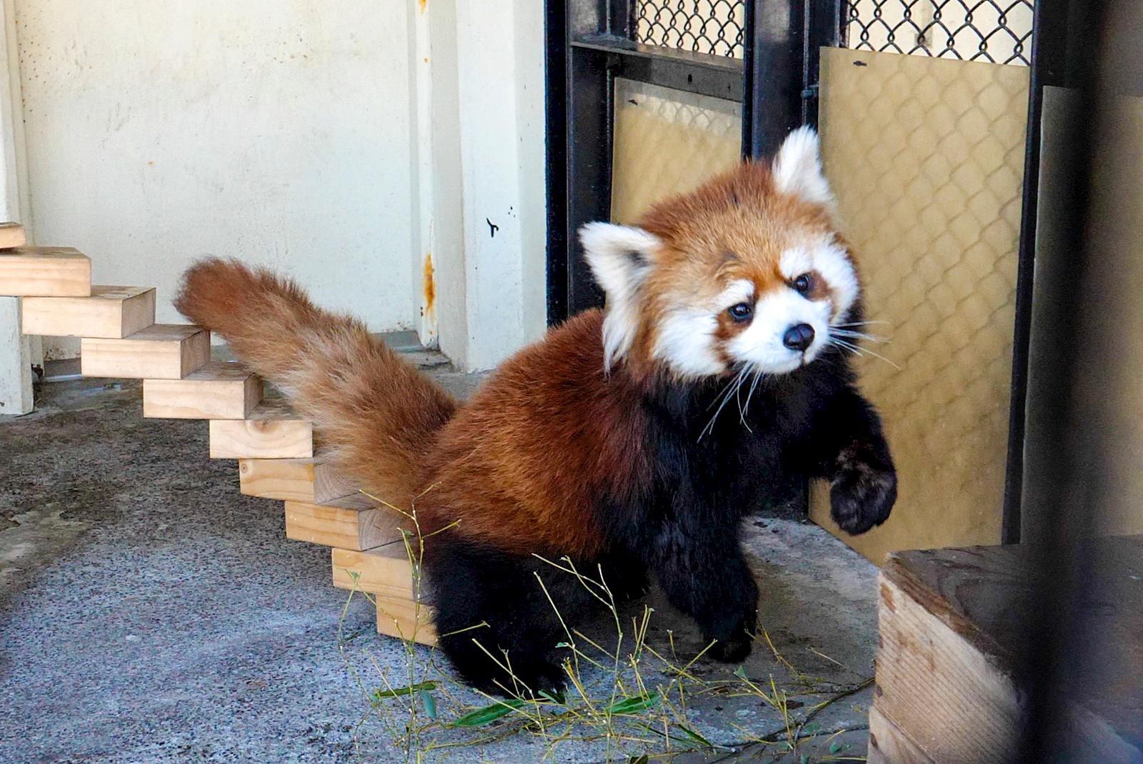 釧路市動物園で20年ぶりにレッサーパンダの赤ちゃんが誕生!その名は?
