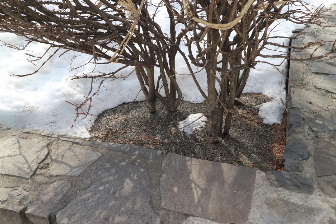春先になると木の根元だけ雪がとけるのはなぜ?根開きの真実に迫る