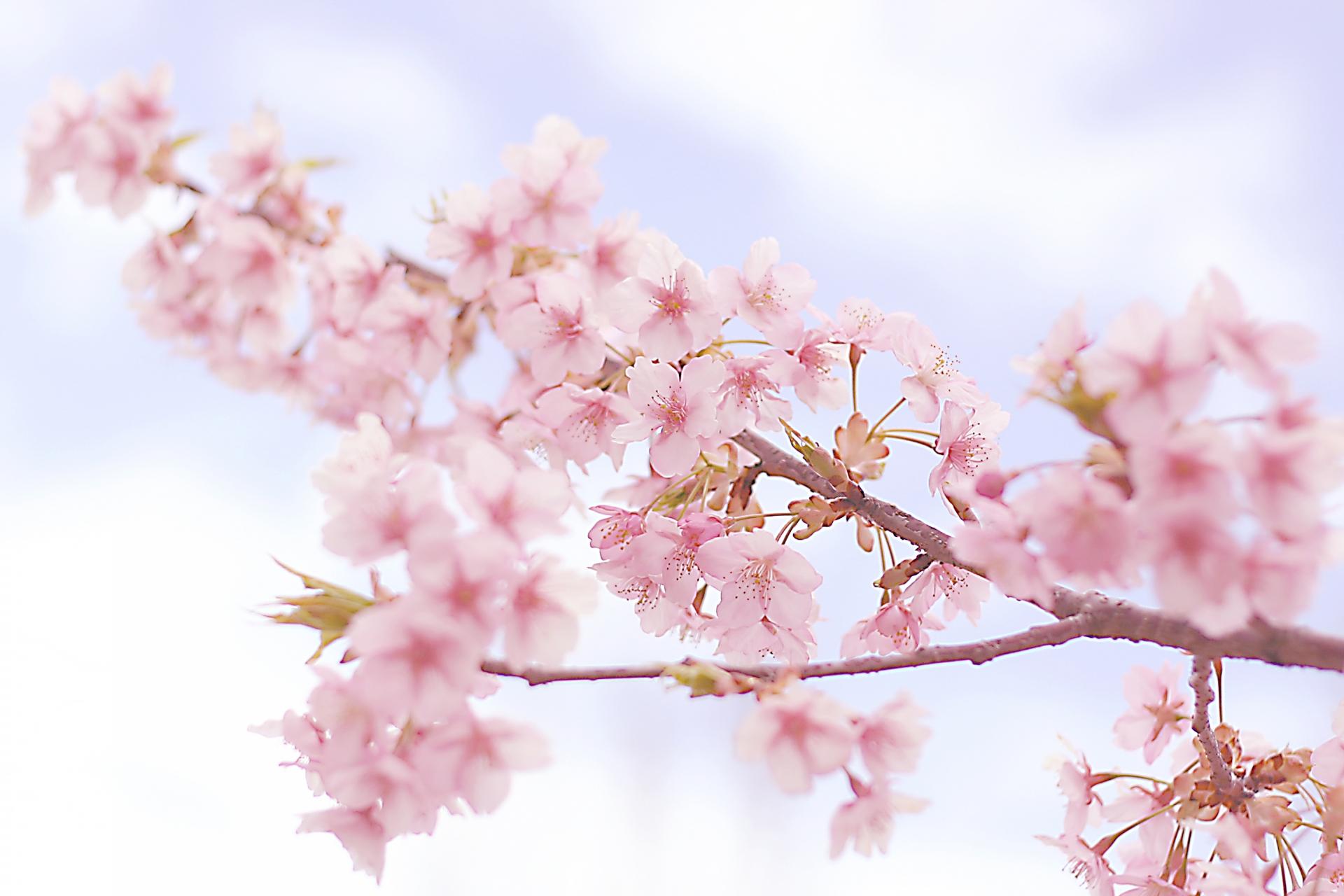 北海道の桜前線の速さはどのくらい?津軽海峡を渡るのに何日かかる?