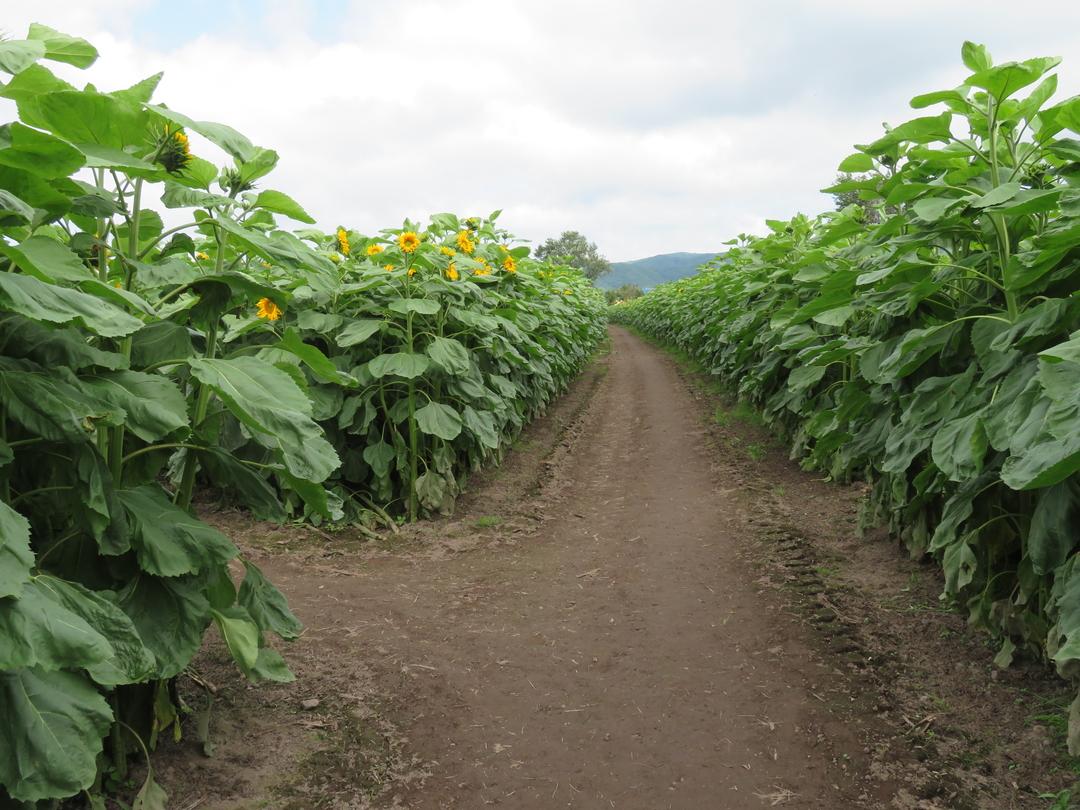 総延長約2キロ!本別町のひまわり畑に造られた巨大迷路に挑戦!