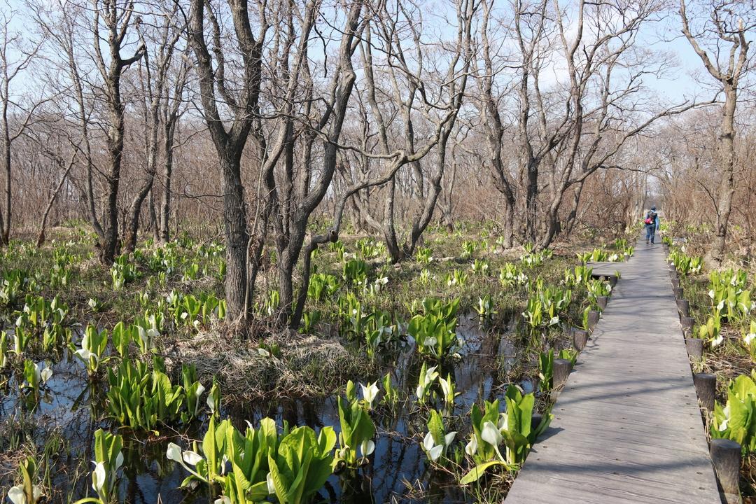 札幌近郊で水芭蕉を見るならここへ!石狩市の群生地「マクンベツ湿原」