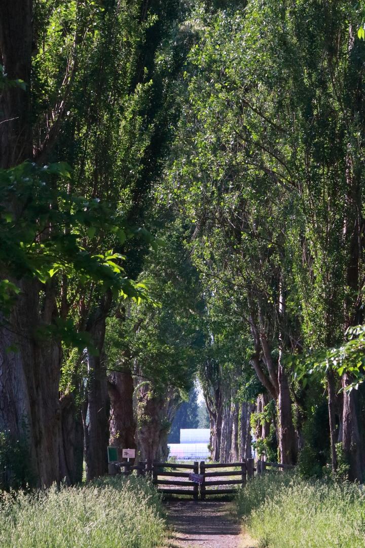 北大キャンパスには明治から続くポプラ並木と平成ポプラ並木とがある
