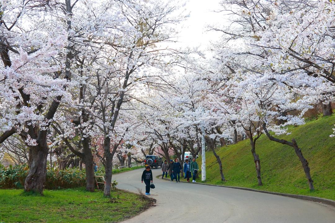 ソメイヨシノ群生地の北限!2000本の桜が咲く美唄市「東明公園」