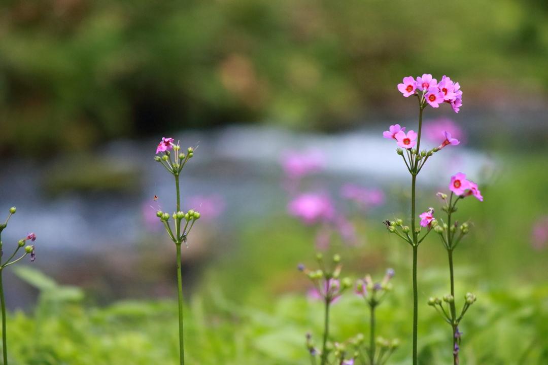 可憐なピンクの花が森を彩る!道内屈指のクリンソウ群生地「ノンノの森」