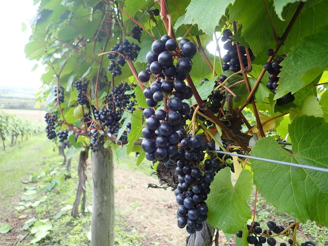 池田町独自品種「山幸」が国際ブドウ・ワイン機構(OIV)で品種登録