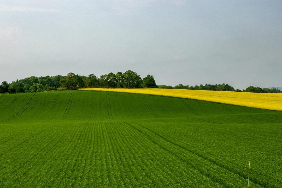 安平町も負けてない!丘陵の黄色の絨毯を楽しむ「菜の花さんぽ」開催