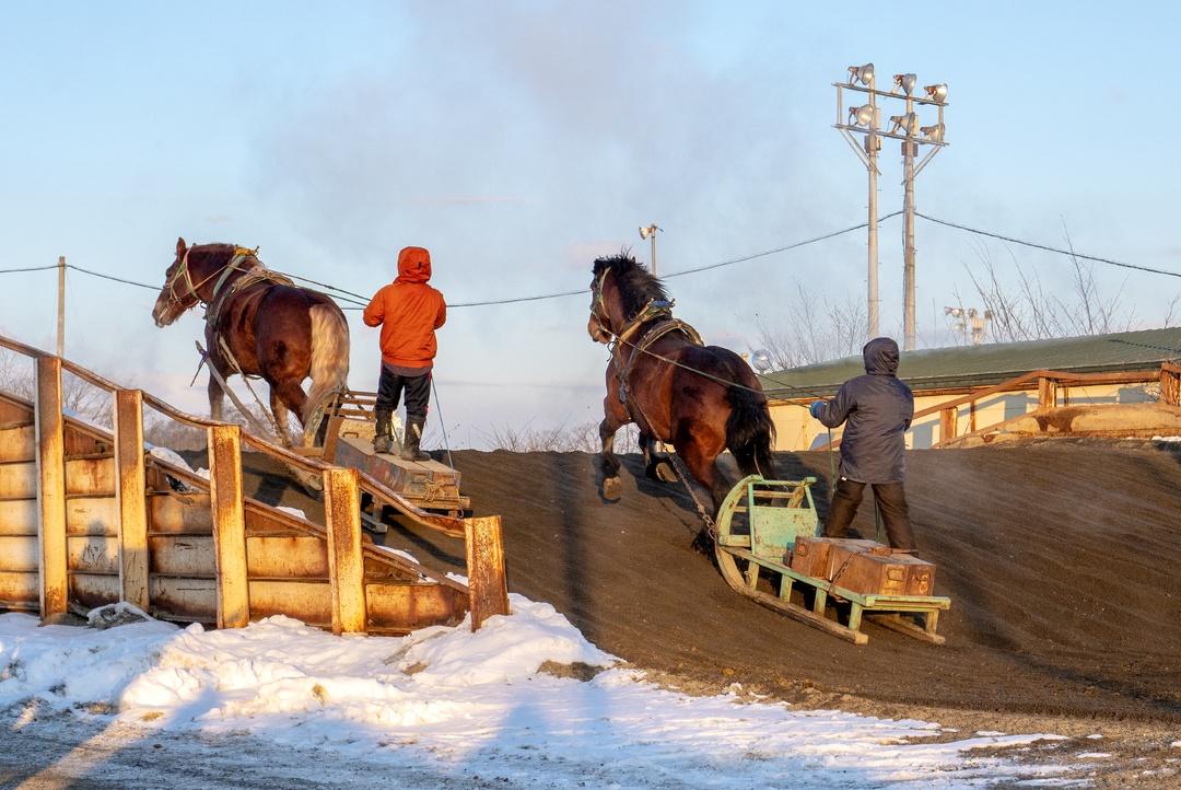 ばん馬の一日は朝調教から始まる―帯広「ばんえい競馬」の舞台裏