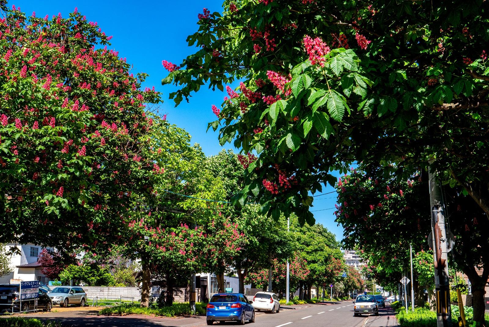 見頃は6月半ばまで!札幌龍谷学園高校近くに「ベニバナトチノキ並木」