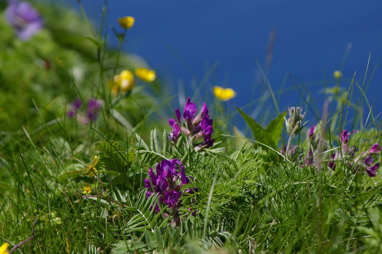 礼文町長が語る!礼文島の景色を彩る希少な高山植物の魅力とは