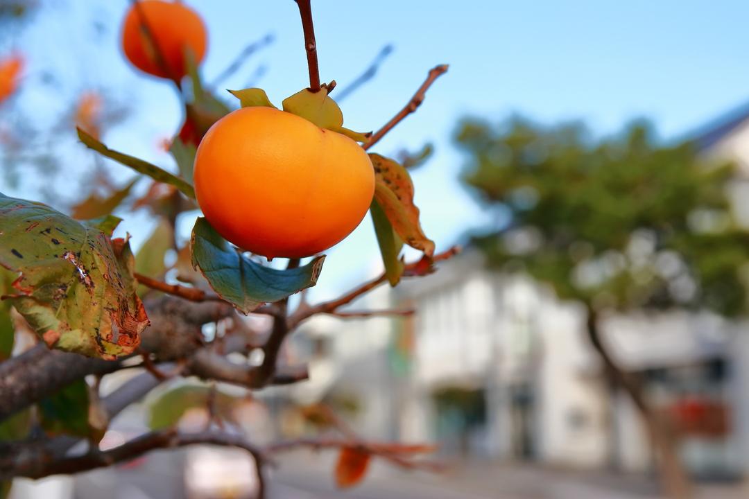 街路樹は ナント柿の木?! 全国的にも珍しい柿並木が伊達市にあった