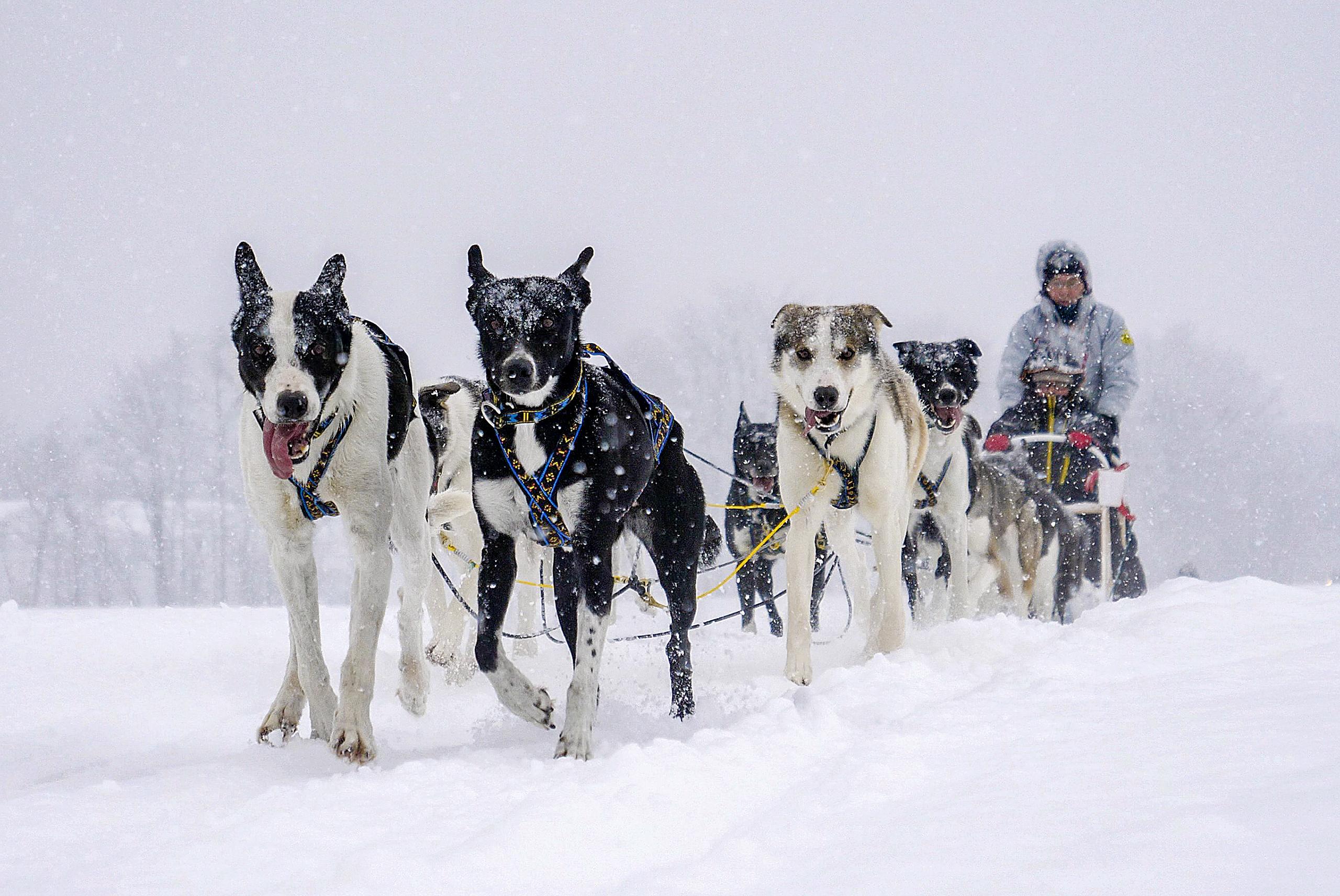 十勝の大雪原をダイナミックに駆け抜ける!鹿追町で犬ぞり操縦体験!