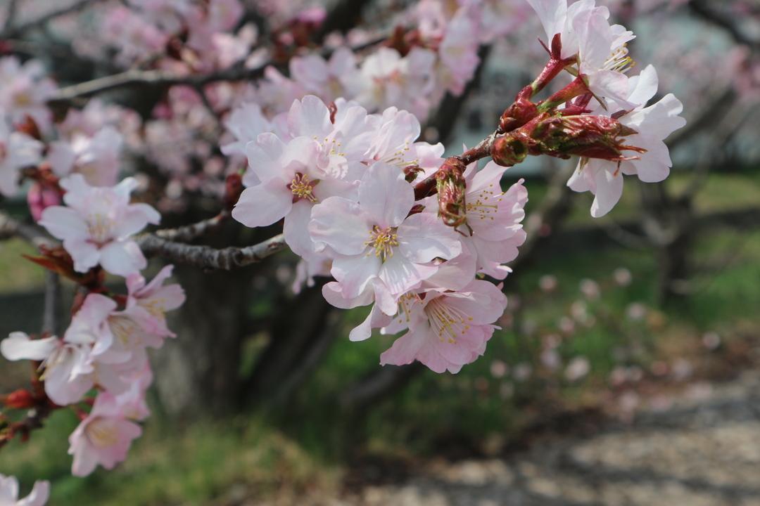 北海道で咲く桜の種類はこれ!エゾヤマザクラ&チシマザクラとは?
