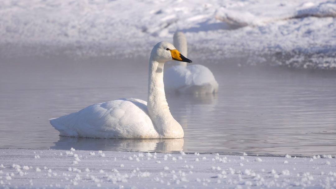 出会えたら奇跡!? 厳寒の屈斜路湖に咲く氷の花「フロストフラワー」