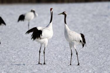 タンチョウってどんな鳥?道東に生息する大型鳥類の生態
