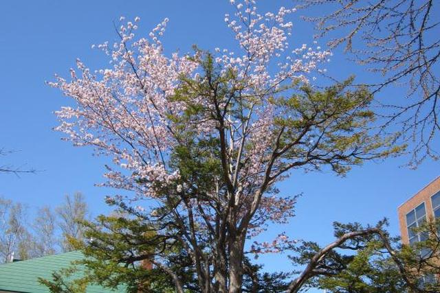 北洋銀行のこの街紹介! オンコと桜が合体?真駒内の不思議な桜の木