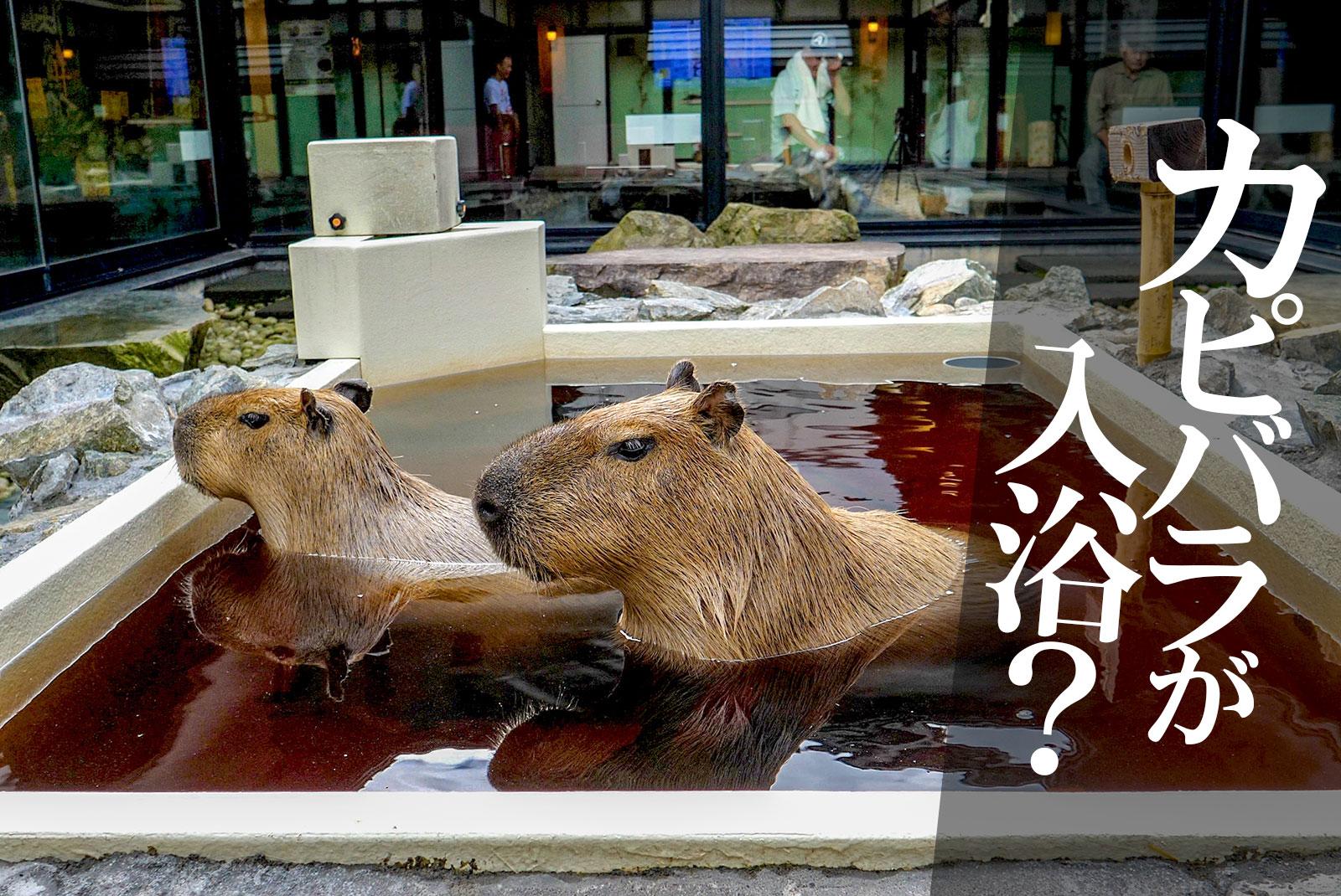 カピバラが入浴していることで話題に!石狩市の天然温泉「番屋の湯」
